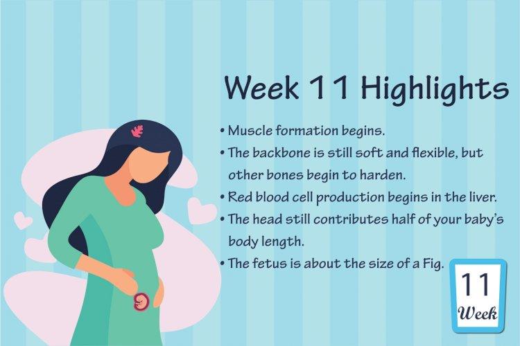 Pregnancy Week – 11